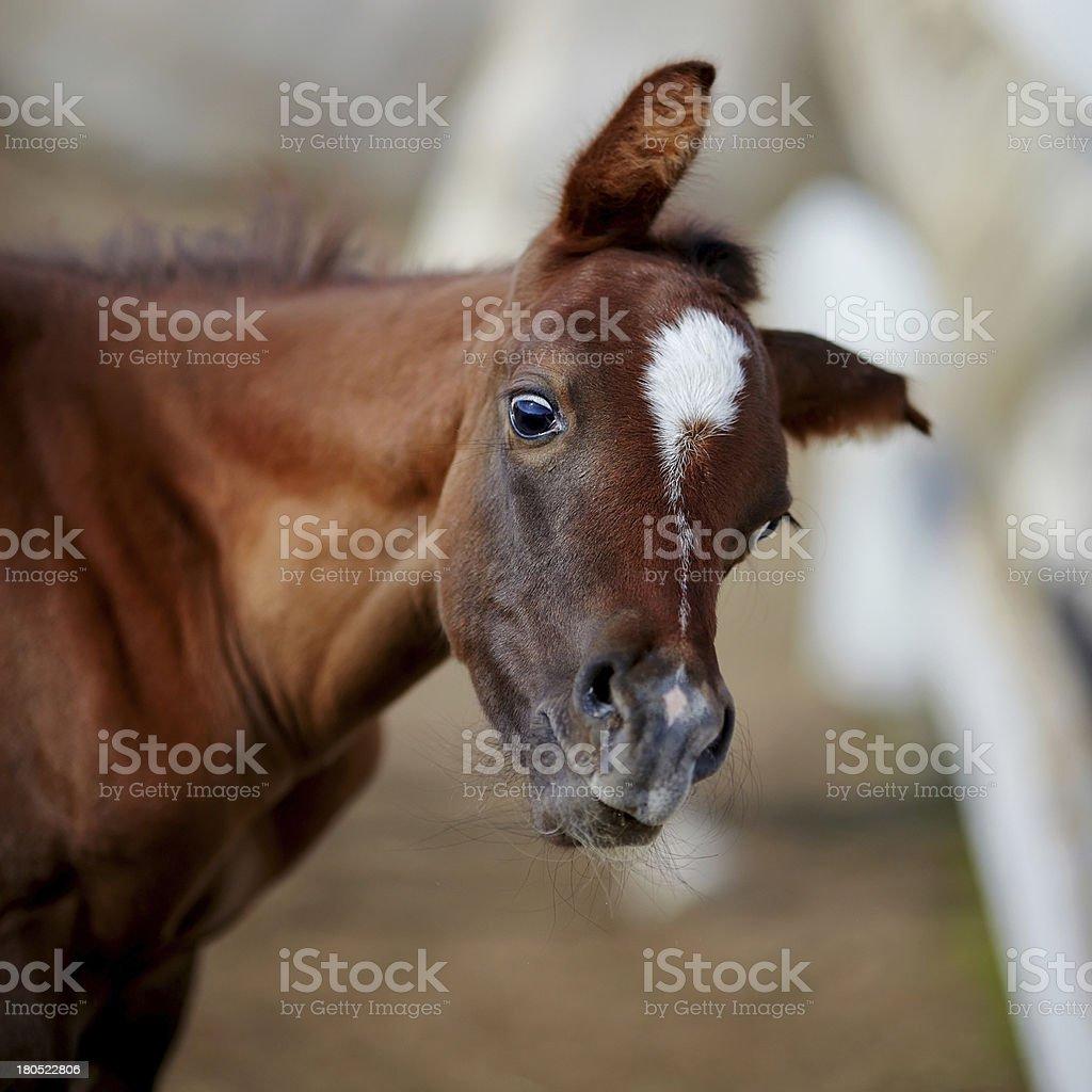 Amusing portrait of a foal. stock photo