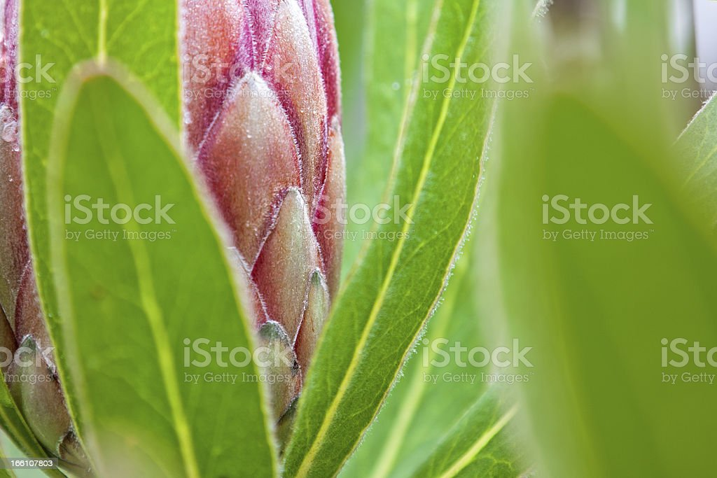 An abstract detail of a protea flower with red petals royalty-free stock photo