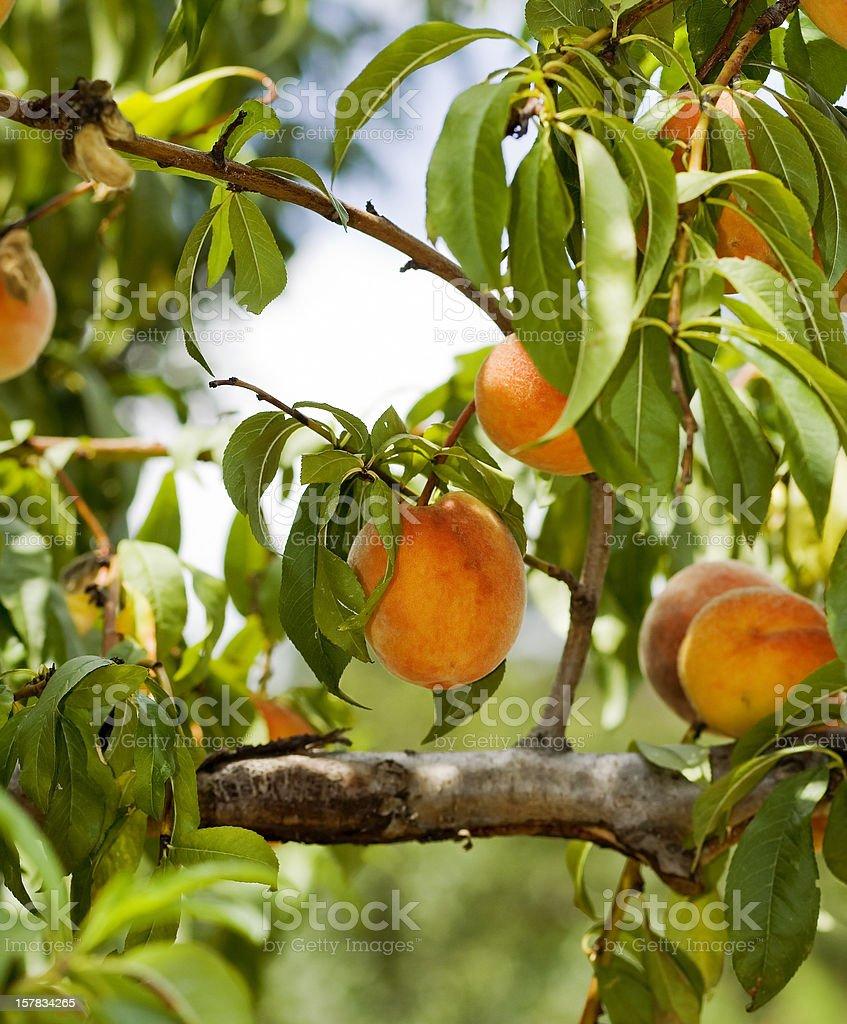 An abundant and green peach tree stock photo