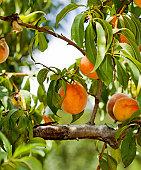 An abundant and green peach tree