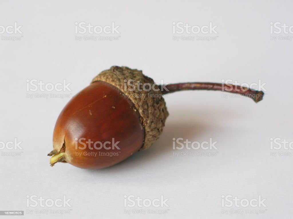 An acorn on a white background stock photo