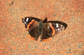 An admiral butterfly