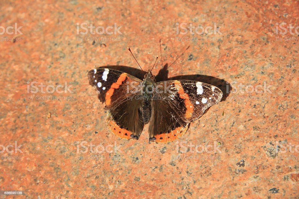 An admiral butterfly stock photo