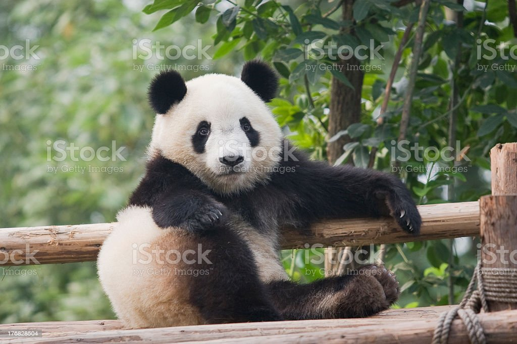 An adorable adult panda on a bamboo fence stock photo