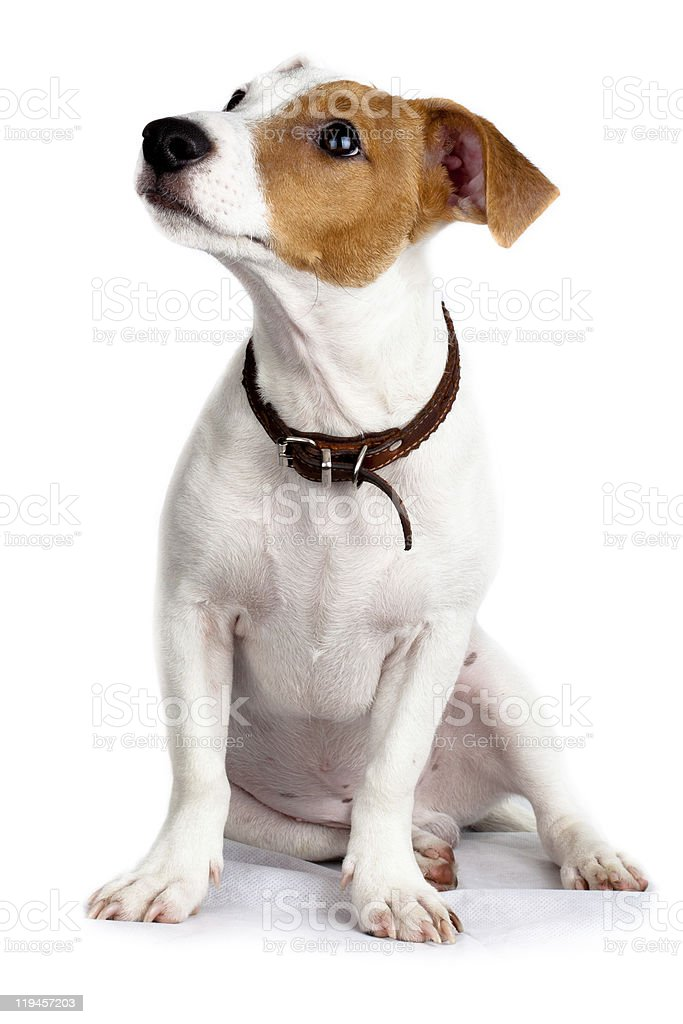 An adorable jack russell terrier puppy on white background stock photo