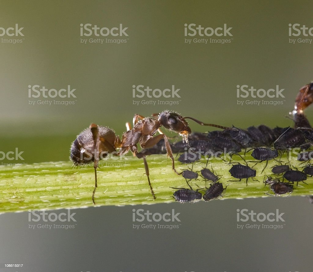 An adult ant watching over a group of aphids stock photo