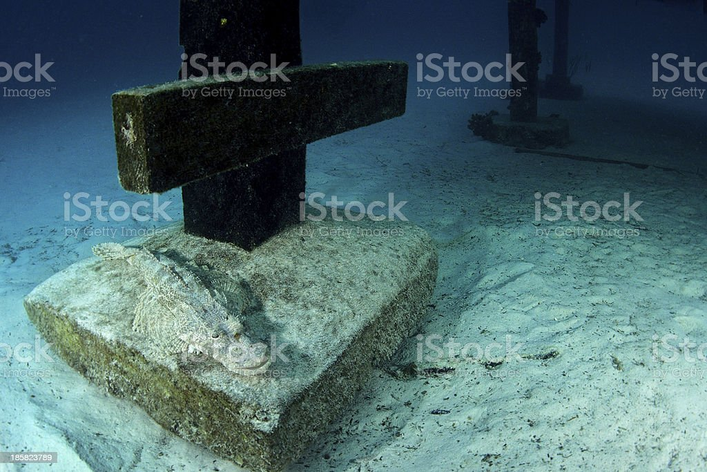 An adult Crocodilefish (Cymbacephalus beauforti) blends into the cement royalty-free stock photo