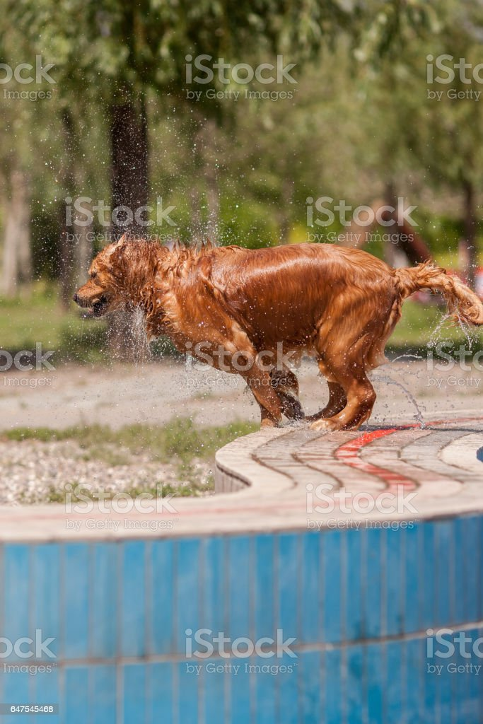 An adult golden dog in the park swimming pool stock photo