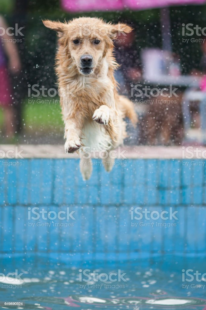 An adult Golden Retriever swims in the park stock photo