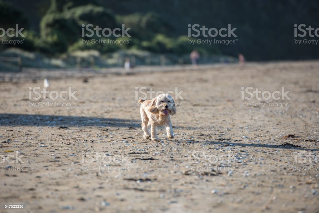 An adult hybrid dog is playing at the seaside stock photo