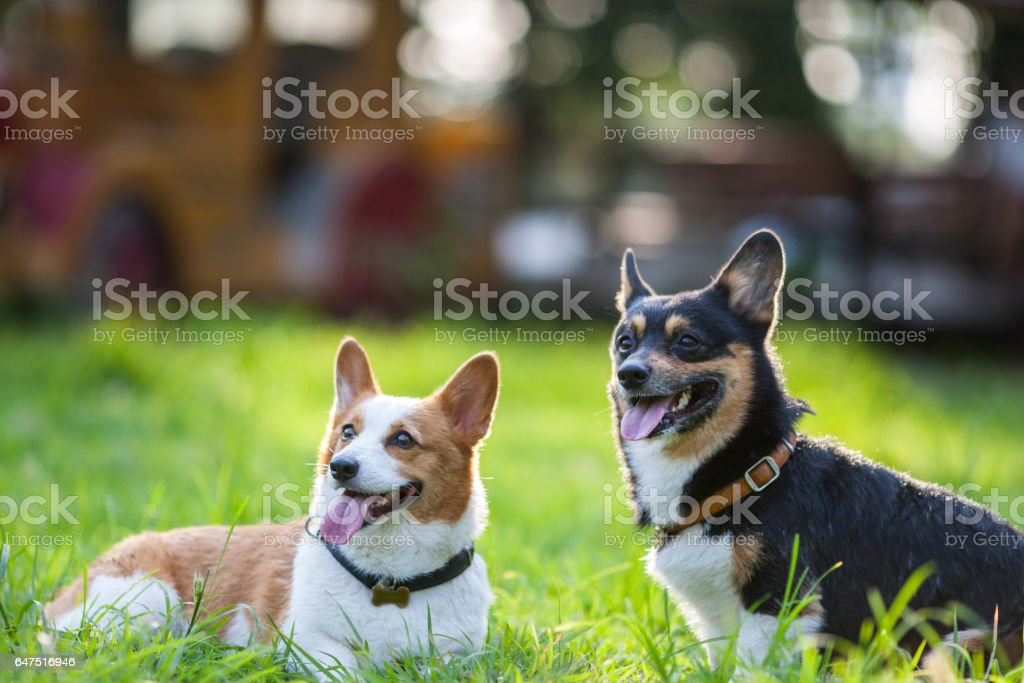 An adult welsh corgi pembroke play in the park stock photo