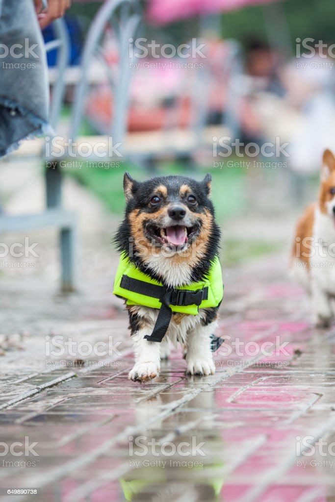 An adult welsh corgi pembroke swims in the park stock photo