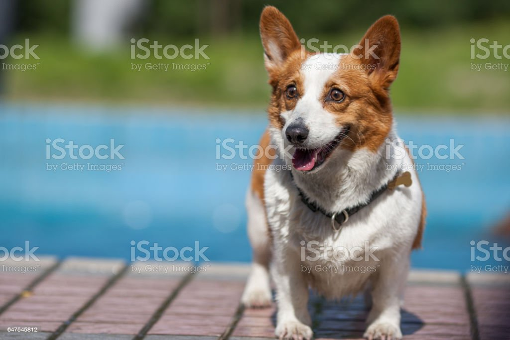 An adult welsh corgi pembroke swims in the park's pool stock photo