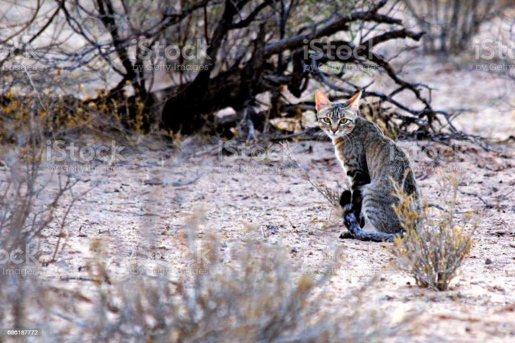 An African Wild Cat sitting on the ground stock photo