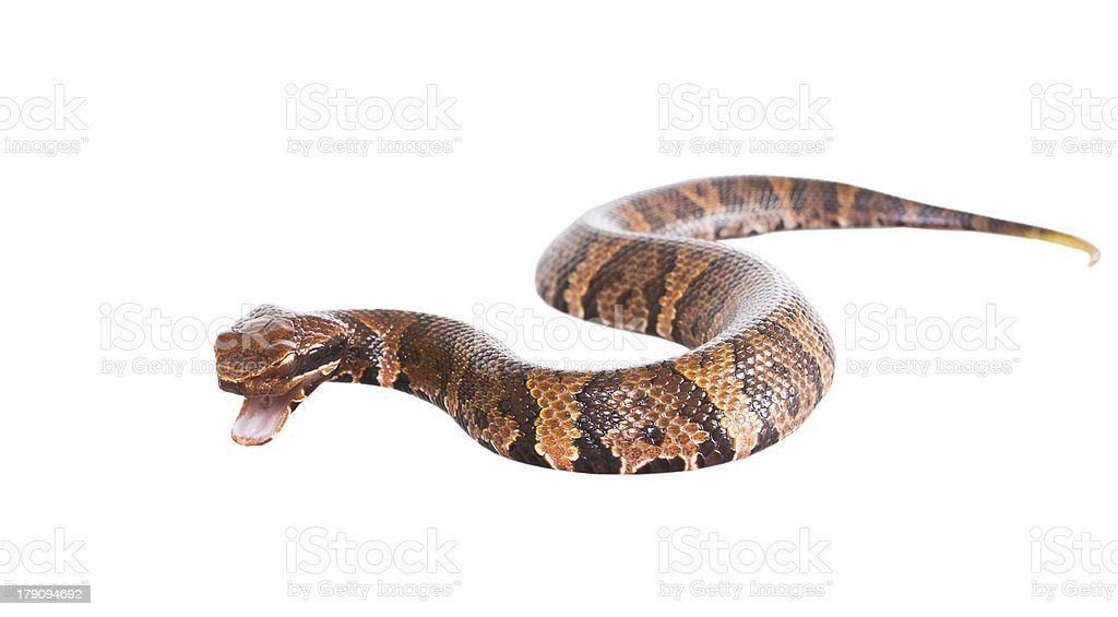 An aggressive snake  American Copperhead (Agkistrodon contortrix royalty-free stock photo