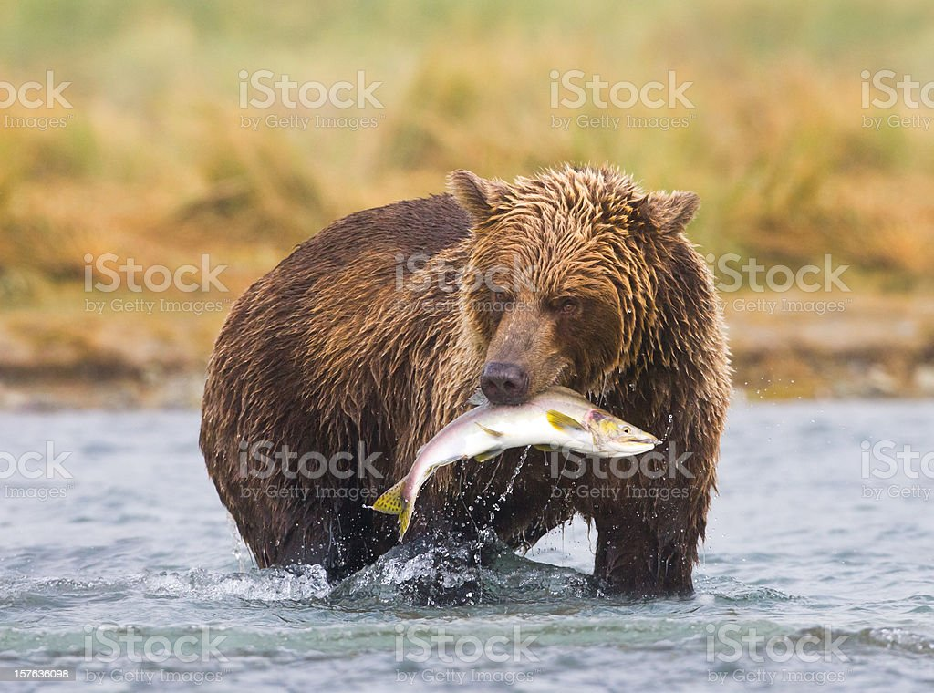 An Alaskan brown bear fishing in a river stock photo