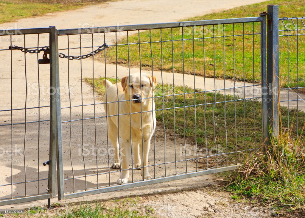 Labrador guard dog stock photo