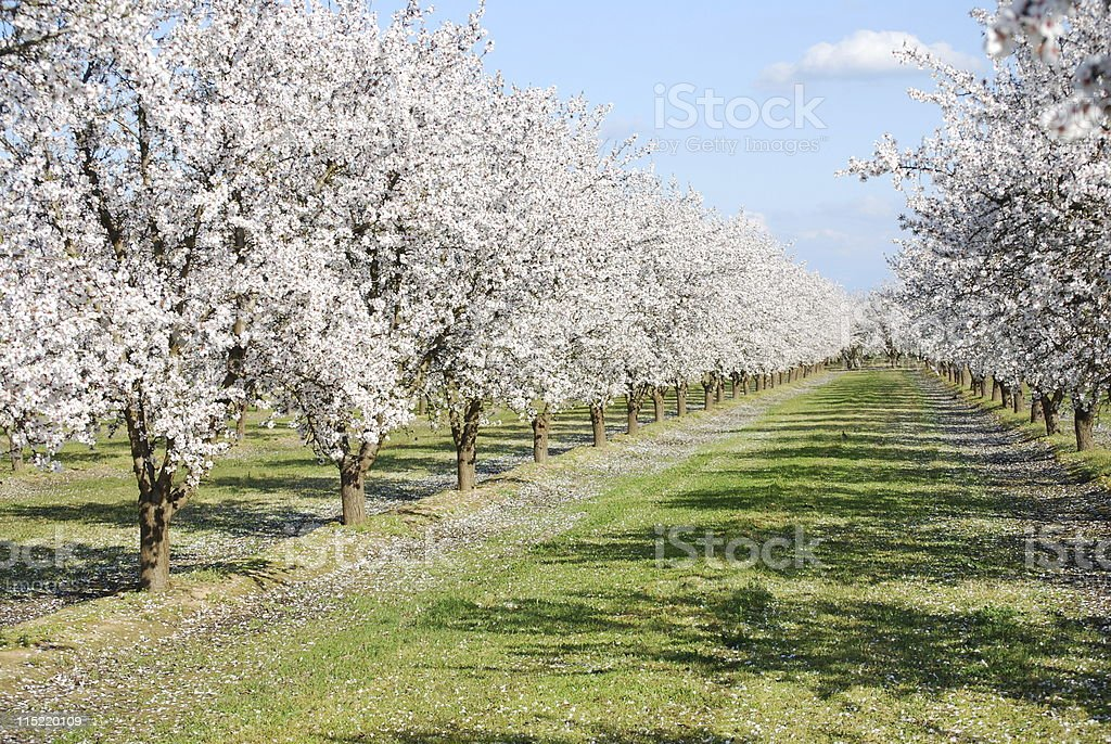An almond orchard with a grass pathway lined with trees stock photo