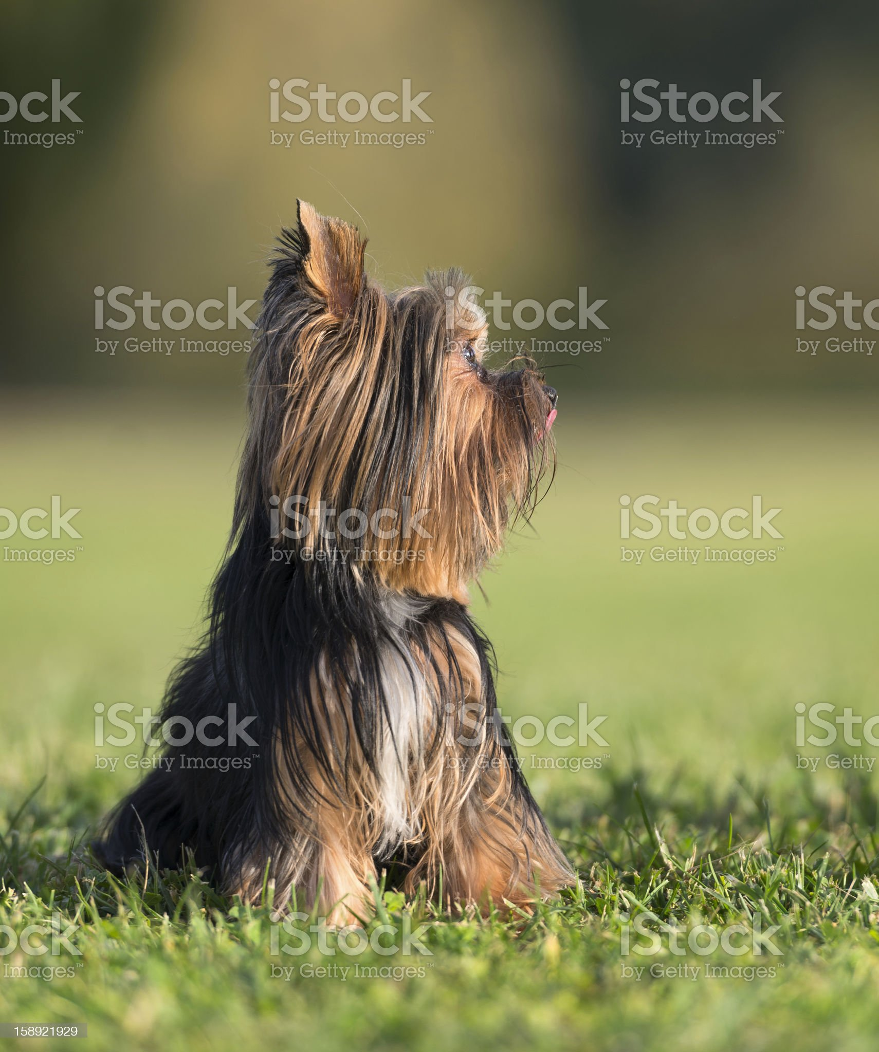 An amazing Yorkshire Terrier poses royalty-free stock photo
