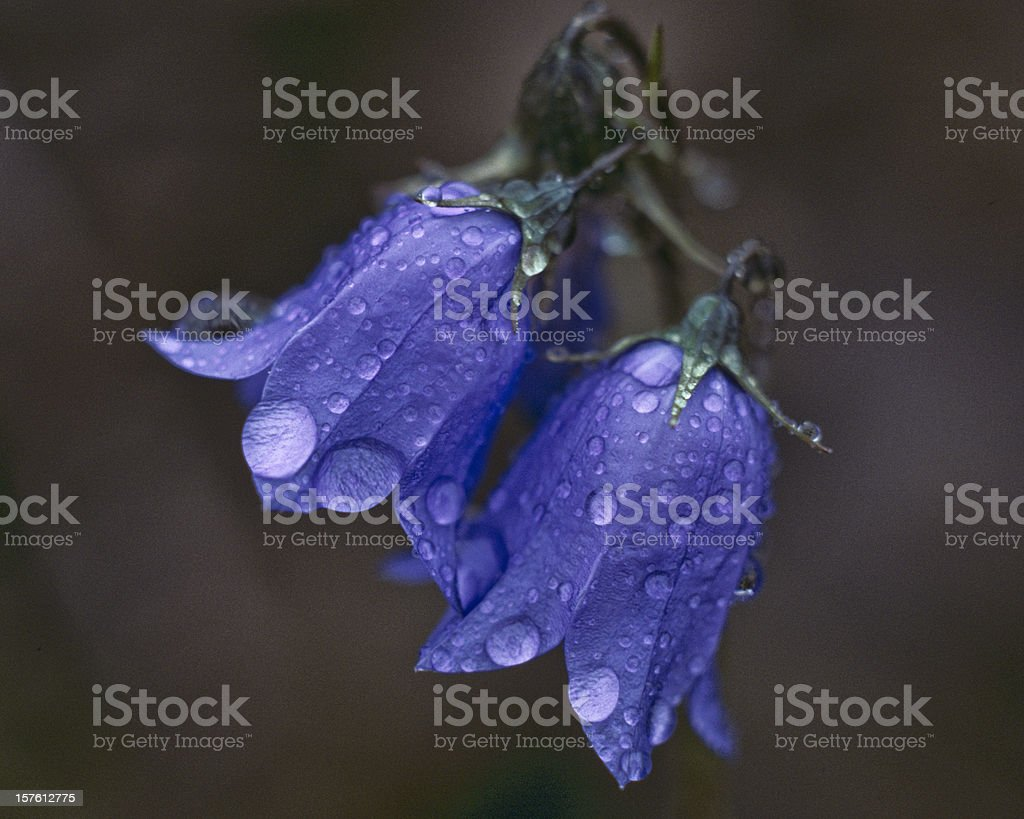 American Harebell With Dew Drops stock photo