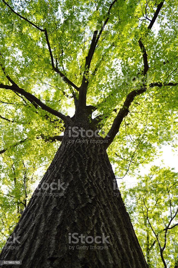 An American Oak in Central Park stock photo