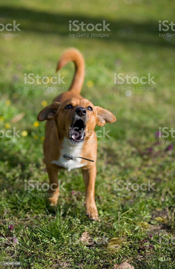An angry dog standing on grass and barking stock photo