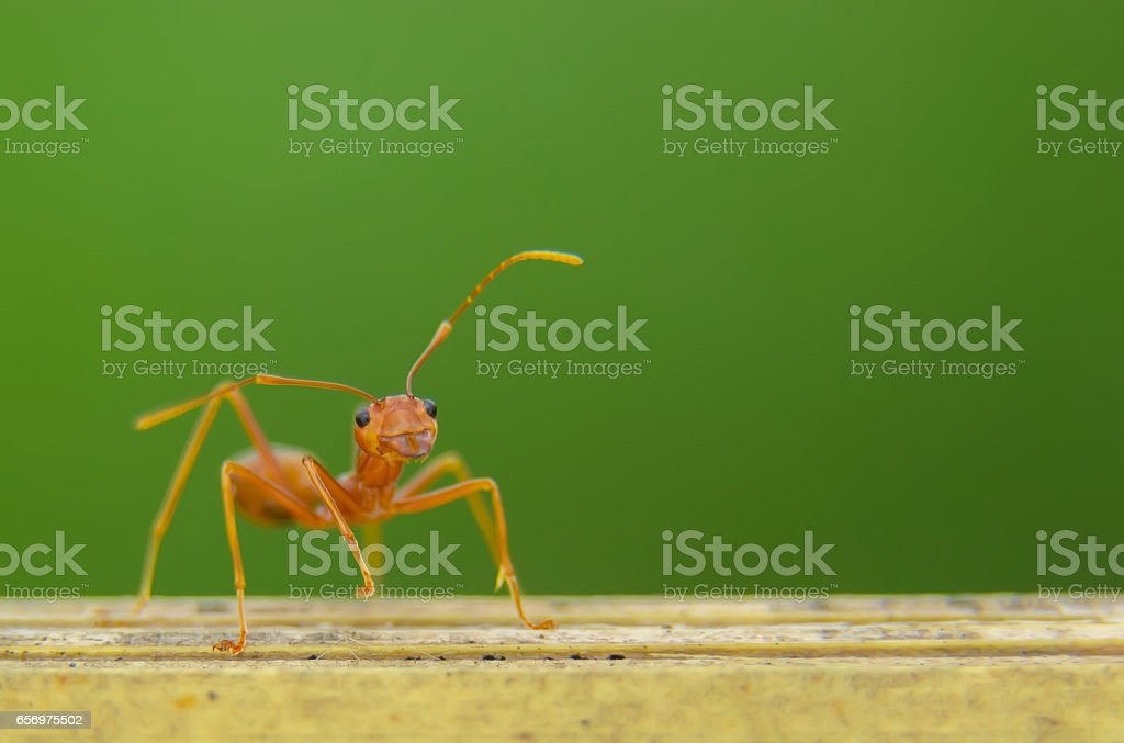 An Ant stock photo