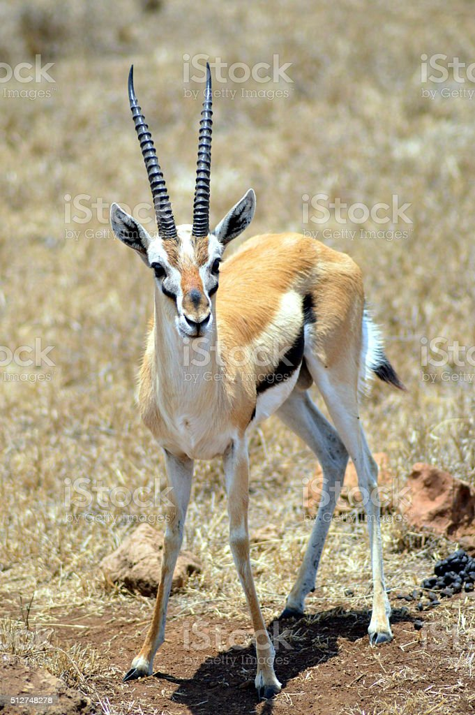 Une antilope en Tanzanie. stock photo
