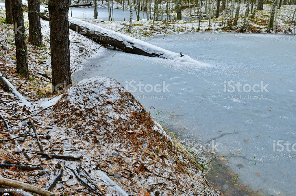 An anthill in the woods in winter. stock photo