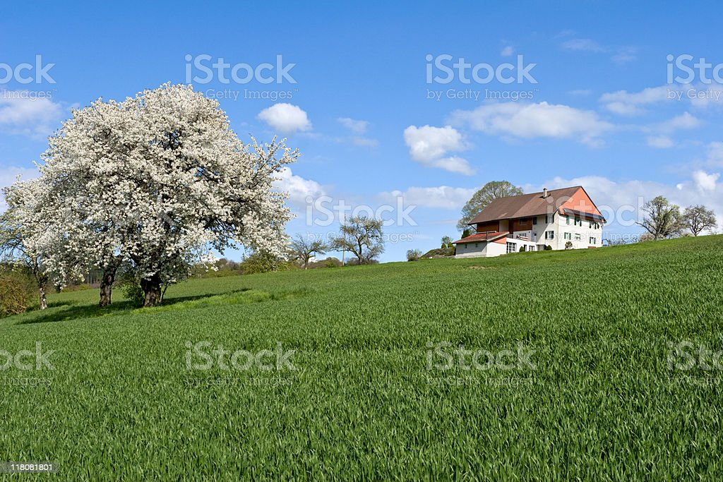 An apple tree in full bloom on a sunny day stock photo