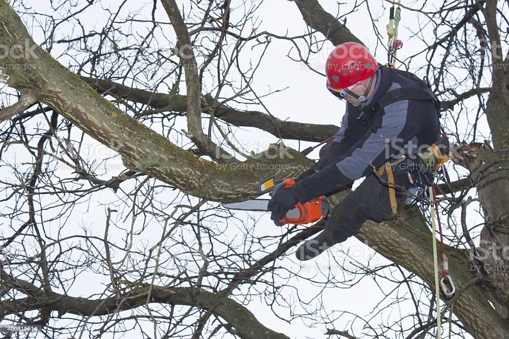 An arborist using a chainsaw to cut a walnut tree stock photo