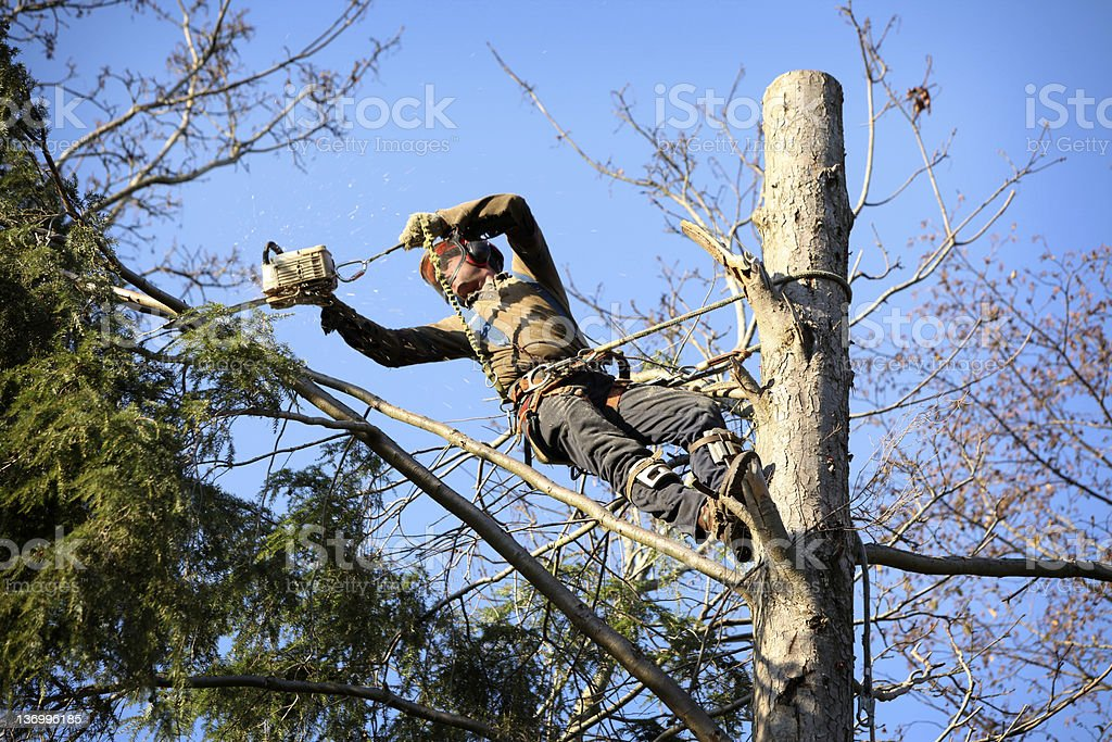 An arborist with a harness cutting a tree stock photo