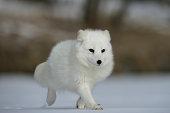 An arctic fox in it's natural habitat