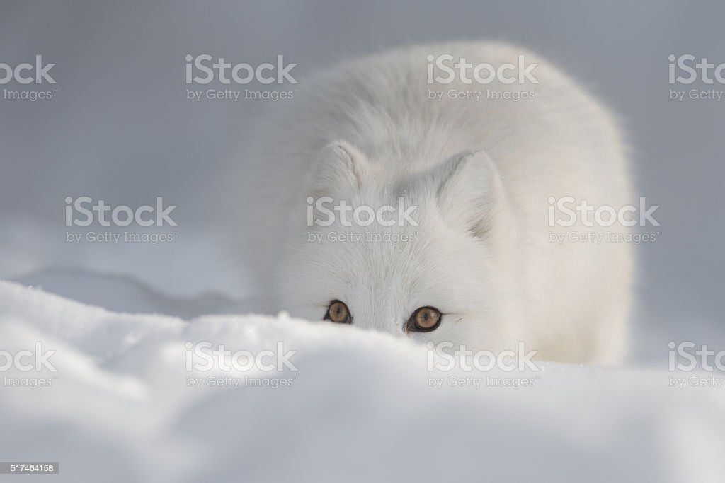 An Arctic Fox in Snow looking at the camera. stock photo