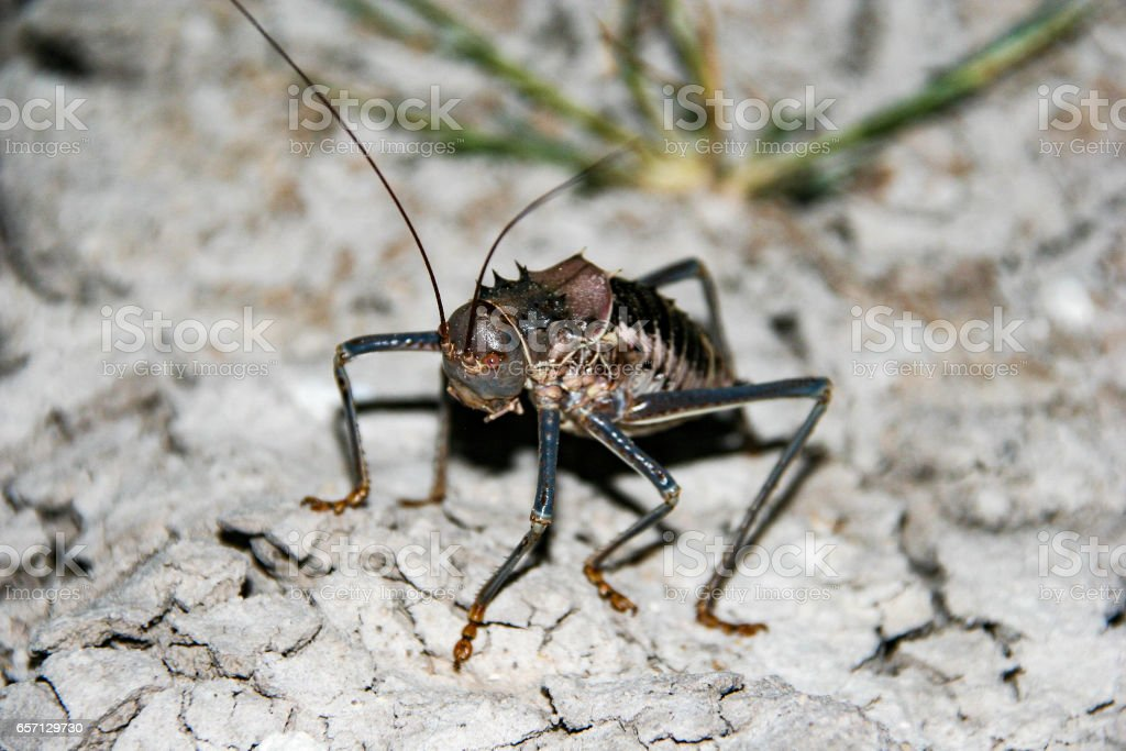 An armoured ground cricket crawling in the African bush stock photo