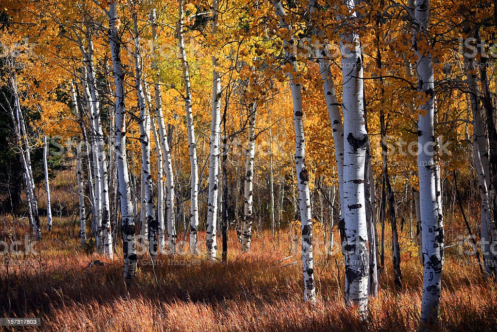An aspen grove in autumn with orange leaves stock photo