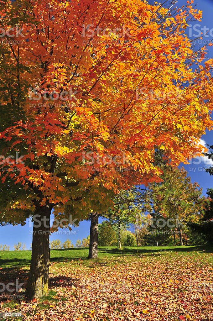 An Autumn maple tree with fallen leaves stock photo