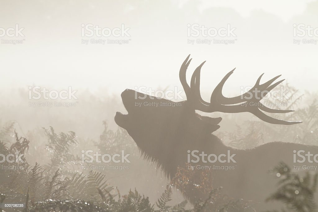 Red deer stag calling in autumn mist stock photo