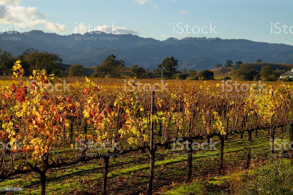 An autumn vineyard being grown at Napa Valley, California royalty-free stock photo