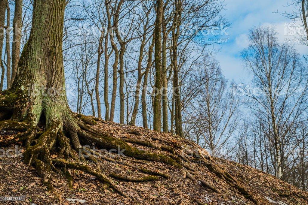An awesome tree on Parnas mountain in Tsarskoe Selo, Pushkin, Saint Petersburg stock photo