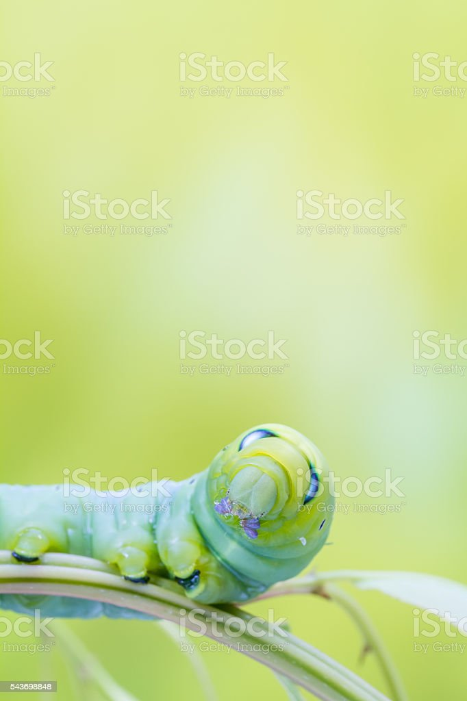 an Daphnis Nerii stock photo