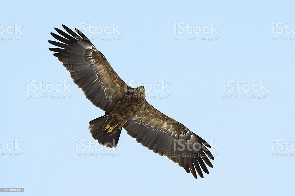 An Eagle soaring royalty-free stock photo