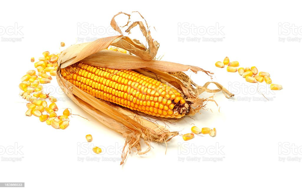 An ear of dried, unshucked corn with piles of corn kernels stock photo