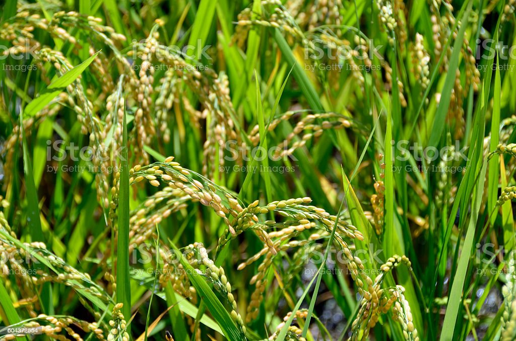an ear of rice plant stock photo