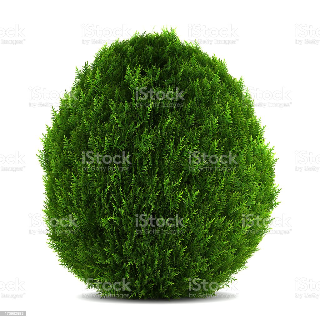 An Eastern Arborvitae bush isolated over a white background royalty-free stock photo