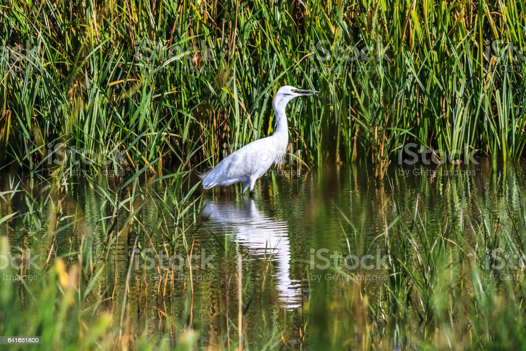 An egret wading in the lake, casting a reflection on the water. stock photo