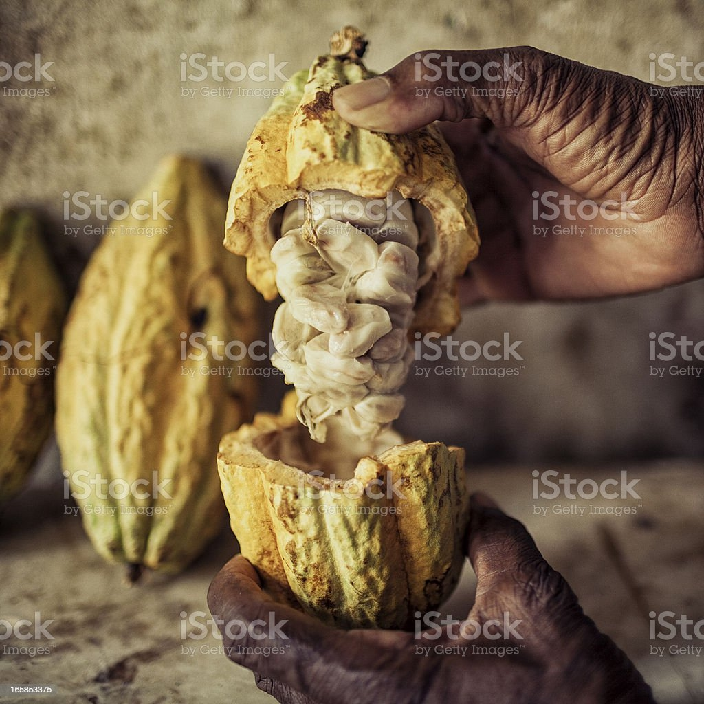 An elderly man reveals fresh cocoa beans in their pods stock photo