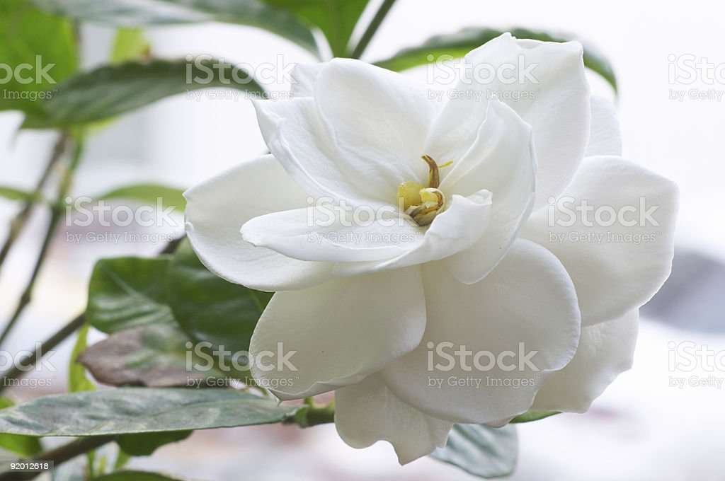 An elegant white flowering Gardenia stock photo