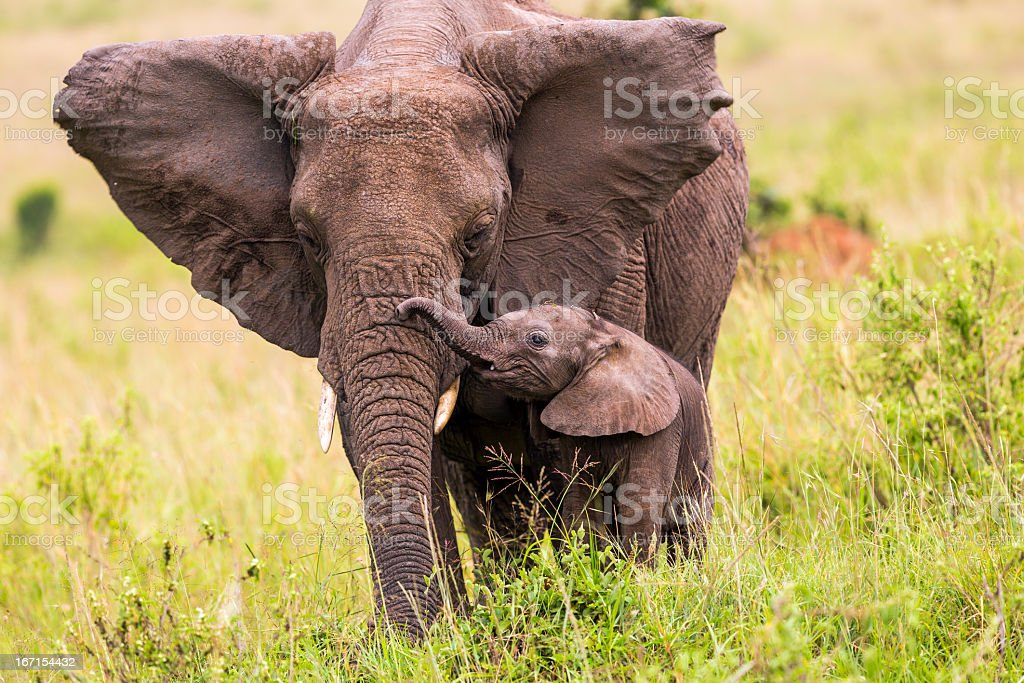 An elephant and its baby walking in long grass stock photo