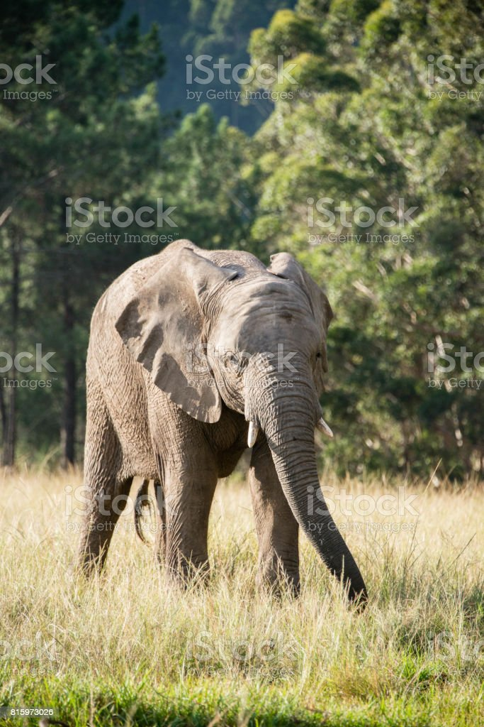 An elephant in a game reserve in South Africa stock photo